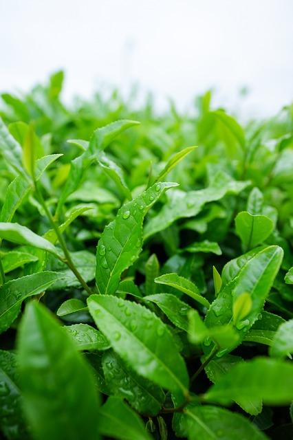 Polyfenoly v listech čajovníků